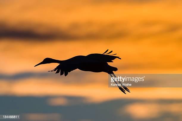 Canada Crane (Grus canadensis) landing at sunset, Bosque del Apache Wildlife Refuge, New Mexico, North America, USA