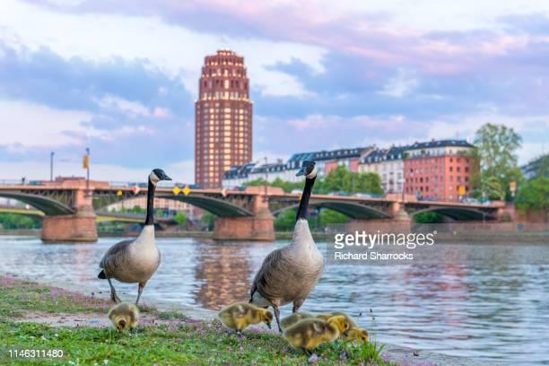 canada geese and goslings - kanadagans stock-fotos und bilder