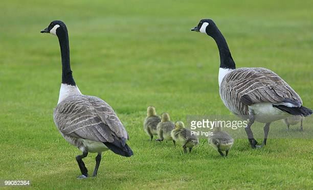 Canada Geese and goslings walk across the course during the first round of the Handa Senior Masters presented by the Stapleford Forum played at...