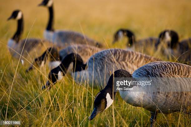 canada geese, branta canadensis, feeding in the grass. - alex saberi fotografías e imágenes de stock