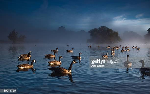 canada geese, branta canadensis, on a pond, waiting for take off. - alex saberi stock pictures, royalty-free photos & images