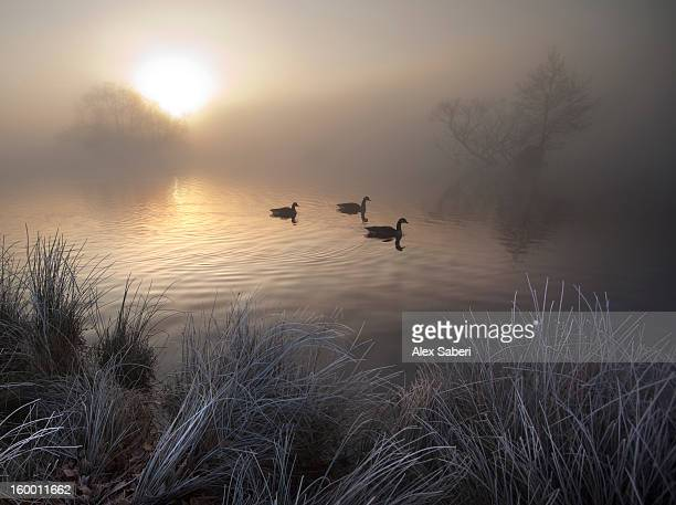 canada geese, branta canadensis, taking a morning swim on a pond. - alex saberi photos et images de collection