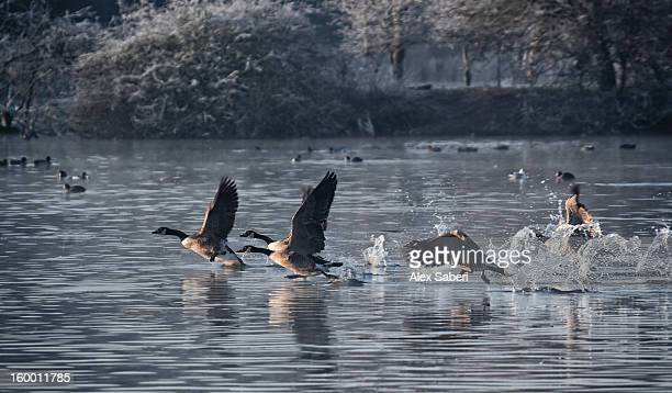 canada geese, branta canadensis, taking an early morning flight. - alex saberi stock pictures, royalty-free photos & images