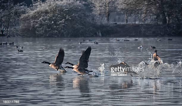 canada geese, branta canadensis, taking an early morning flight. - alex saberi stockfoto's en -beelden