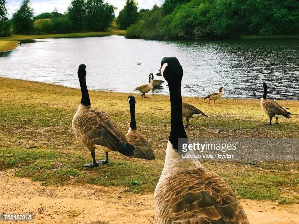 Canada Geese By River On Field