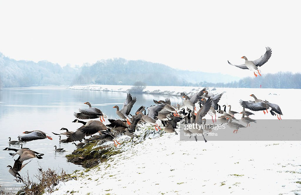 Canada Geese fly on the snow covered banks of the River Trent on on January 22, 2013 in Nottingham, United Kingdom.