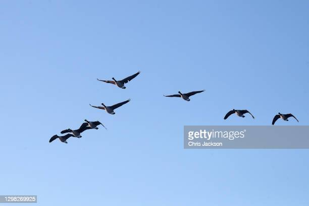 Canada Geese fly over Richmond Park on January 25, 2021 in London, England. Parts of the country saw snow and icy conditions yesterday, as arctic air...