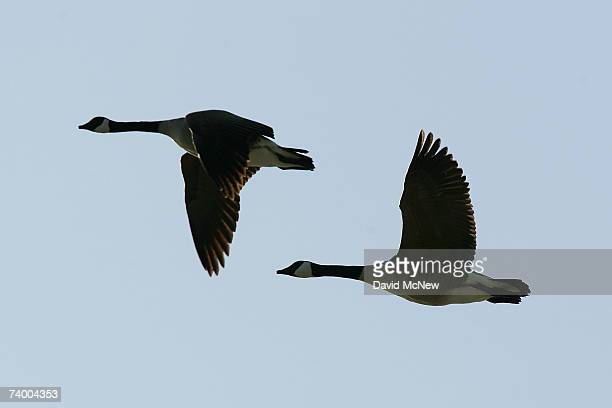 Canada geese fly over the San Gabriel River where the mosquitoes that can carry West Nile Virus are believed to have bred in previous seasons on...