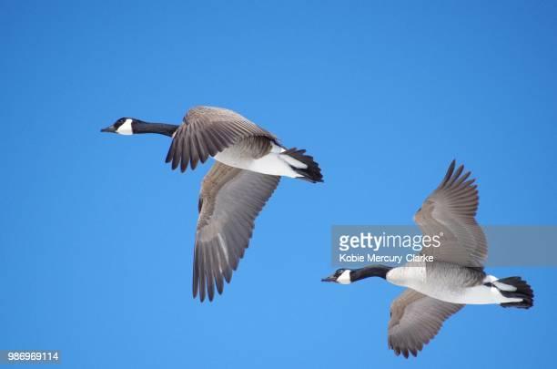 canada geese flying in a pair - kanadagans stock-fotos und bilder