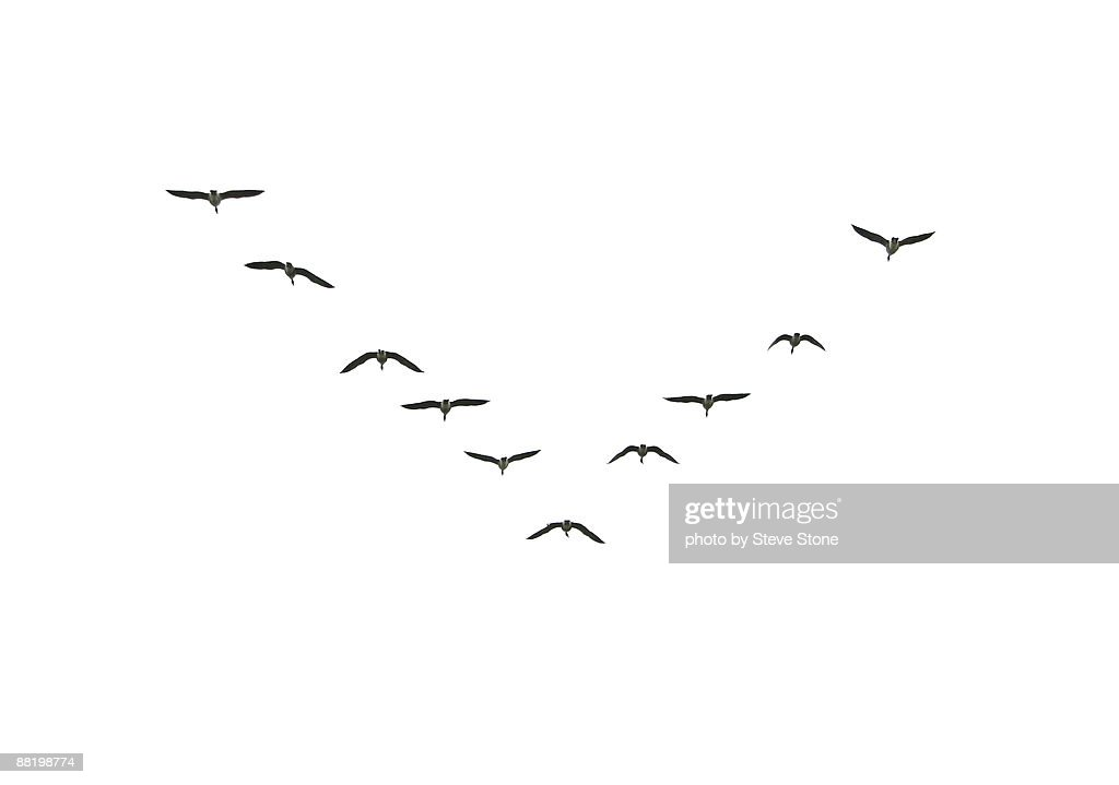 Canada Geese flying in formation : Stock Photo