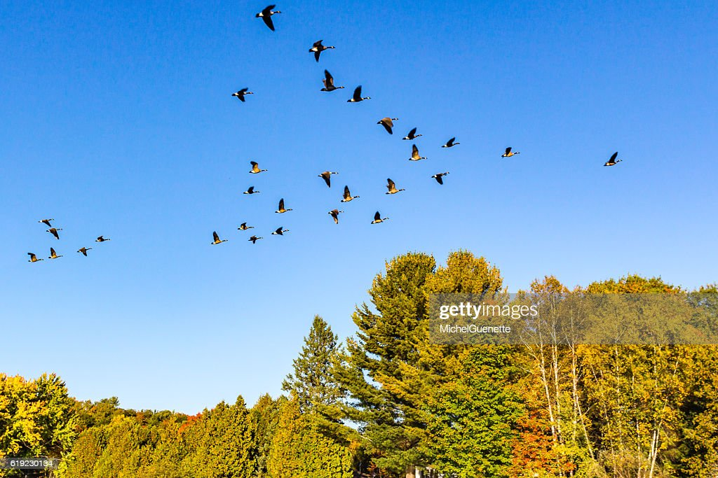 Canada geese flying in v-shape formation at fall