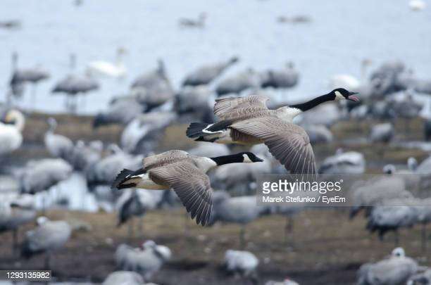 canada geese flying over lake hornborga - marek stefunko stock pictures, royalty-free photos & images