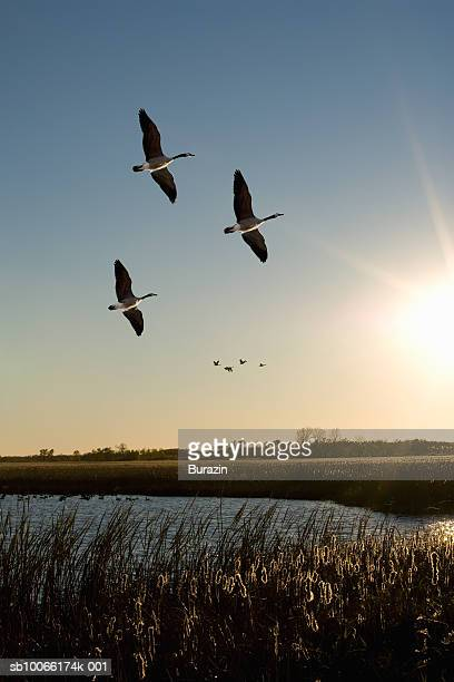 canada geese flying over water, sunset - 後に続く ストックフォトと画像