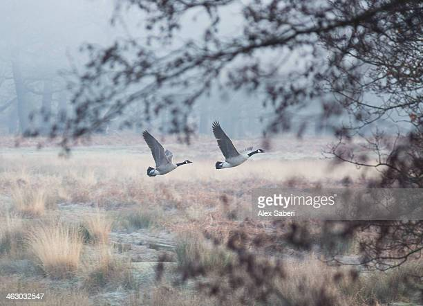 canada geese flying though a wintery richmond park. - alex saberi stock pictures, royalty-free photos & images
