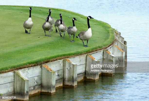 Canada Geese gather on the 16th green during day four of the HNA Open de France at Le Golf National on July 2 2017 in Paris France