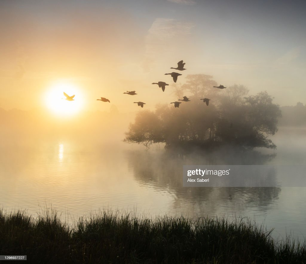 Canada geese in flight. : Stock Photo