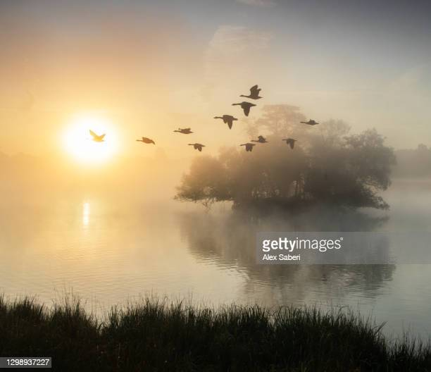 canada geese in flight. - alex saberi stock pictures, royalty-free photos & images