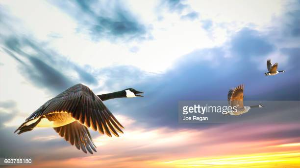 canada geese in flight. - birds flying stock photos and pictures