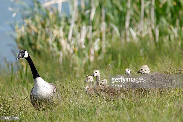 Canada geese in the rough on the 18th hole during the second round of the Handa Senior Masters presented by the Stapleford Forum played at Stapleford...