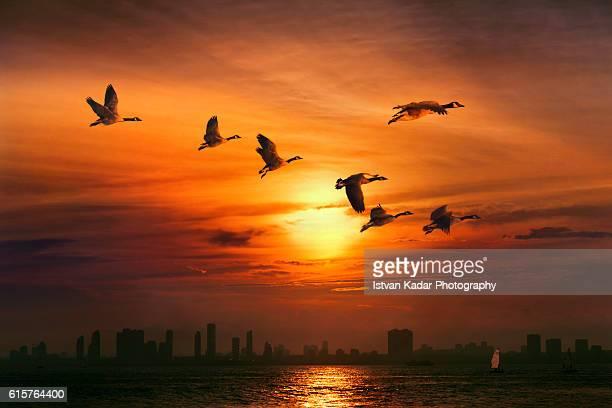 Canada Geese, Lake Ontario