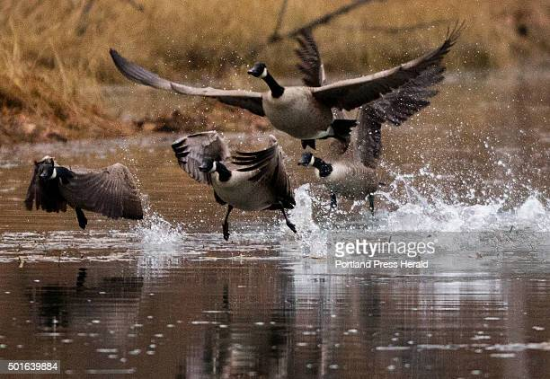 Canada Geese launch from the Back Cove estuary waters near Baxter Blvd in Portland on Tuesday December 1 2015