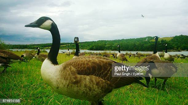 canada geese on grassy field at rother valley country park against sky - kanadagans stock-fotos und bilder