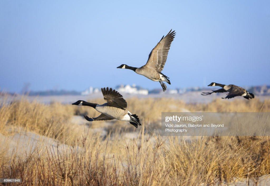 Canada Geese (Branta Canadensis) Over Sand Dunes at Jones Beach, Long Island : Stock Photo