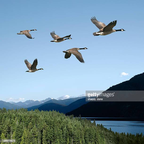 xxl canada geese - birds flying stock photos and pictures
