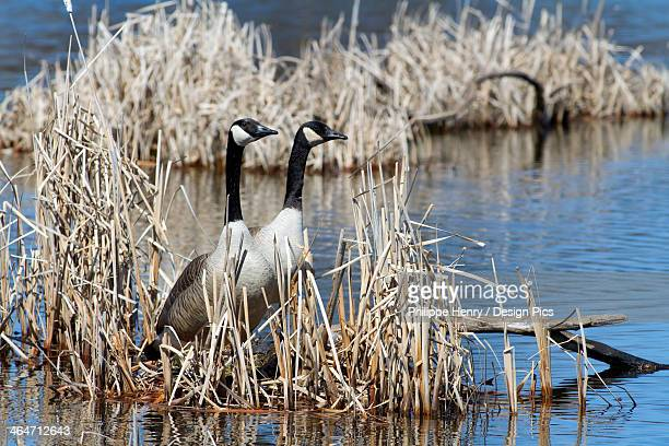Canada Geese (Branta Canadensis) Standing Up In A Marsh, Close To Their Nest