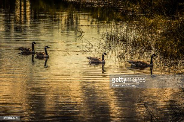 Canada Geese Swimming On Lake