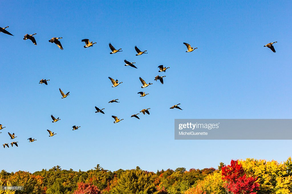 Canada geese taking off in a fall landscape