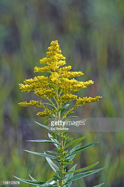 canada goldenrod, solidago canadensis, michigan, usa. common in the fall along roadsides, thickets, clearings. - goldenrod stock pictures, royalty-free photos & images