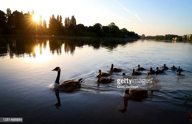 Canada Goose and it's gosling swim down the River Thames at Mortlake early in the morning on June 23 2020 in London England