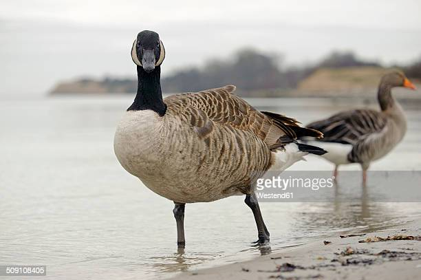 Canada goose, Branta canadensis, and gray goose, Anser anser standing at waterside