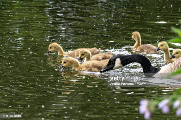 canada goose, branta canadensis, goslings - medium group of animals stock pictures, royalty-free photos & images