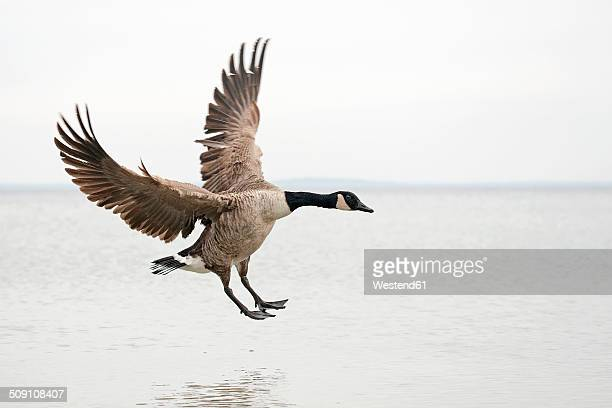 canada goose, branta canadensis, landing on water - goose stock pictures, royalty-free photos & images