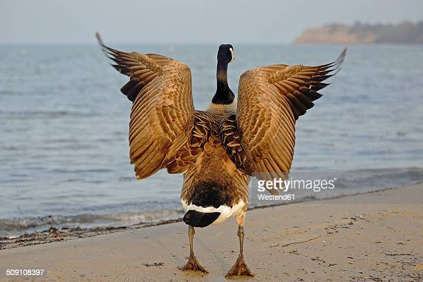 Canada goose, Branta canadensis, with spread wings standing at waterside, back view