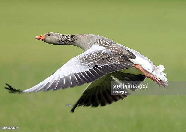 Canada Goose flies across the course during the first round of the Handa Senior Masters presented by the Stapleford Forum played at Stapleford Park...