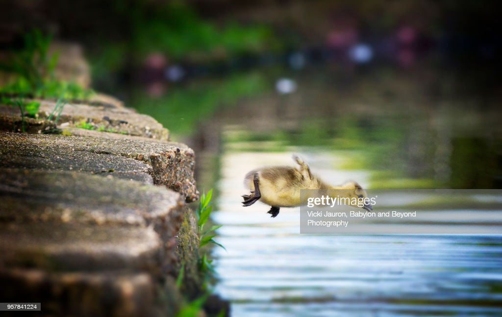 Canada Goose Gosling Caught in Mid Air as He Makes a Leap into the Water : Stock Photo