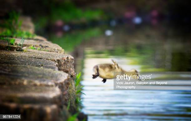 canada goose gosling caught in mid air as he makes a leap into the water - coraggio foto e immagini stock