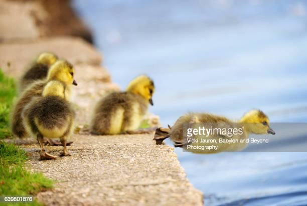 canada goose (branta canadensis) gosling takes a plunge into the lake - 先導 ストックフォトと画像