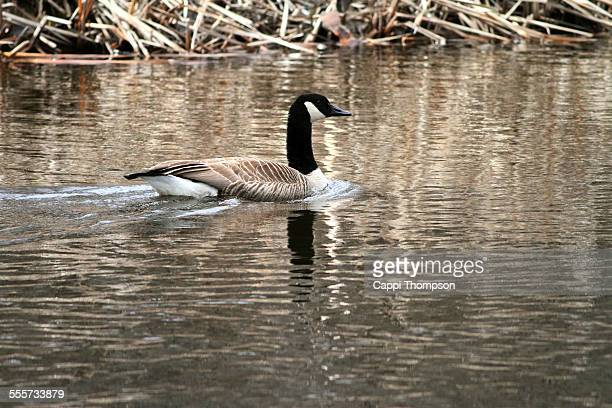 canada goose in the androscoggin river - cappi thompson stock pictures, royalty-free photos & images