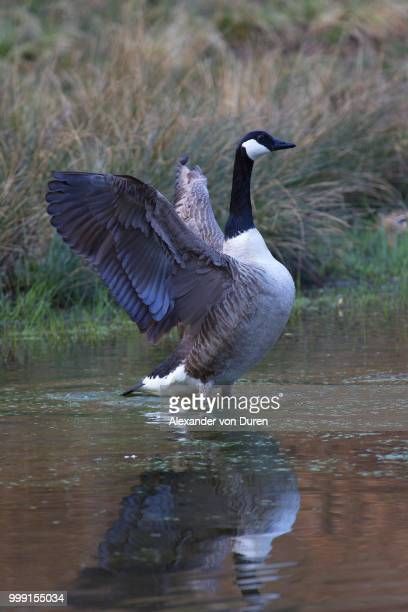canada goose (branta canadensis), naturpark arnsberger wald, sauerland, north rhine-westphalia, germany - wald stock pictures, royalty-free photos & images
