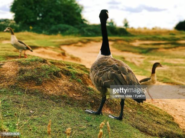 Canada Goose On Field