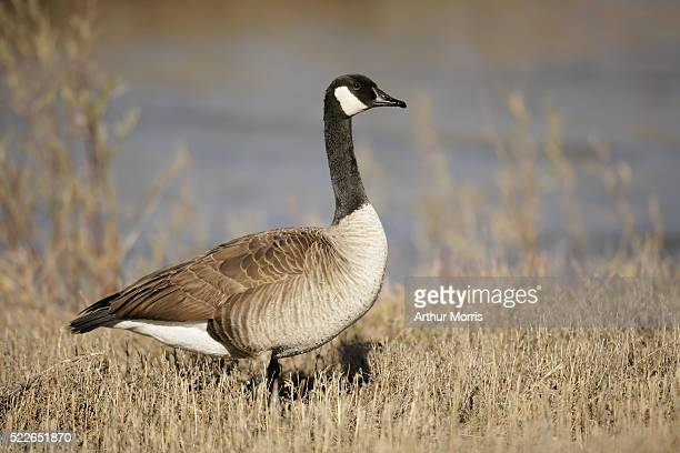 canada goose on shore - kanadagans stock-fotos und bilder