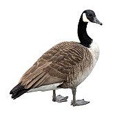 Canada goose on white