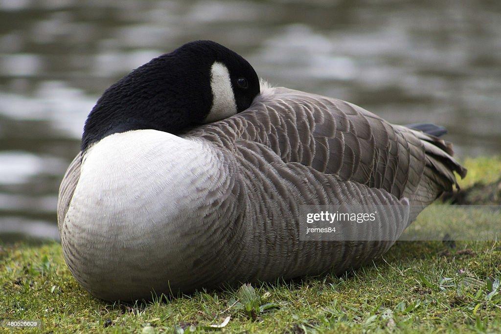 Canada Goose : Stockfoto