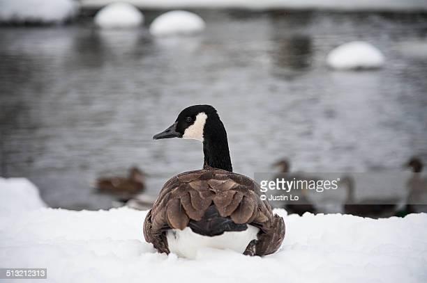 canada goose - マーカム ストックフォトと画像