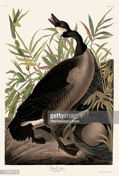 Canada Goose Plate 201 in John James Audubon's Birds of America late 1830s