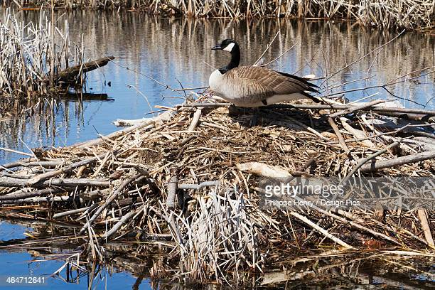 Canada Goose (Branta Canadensis) Standing Up On A Beaver Hut